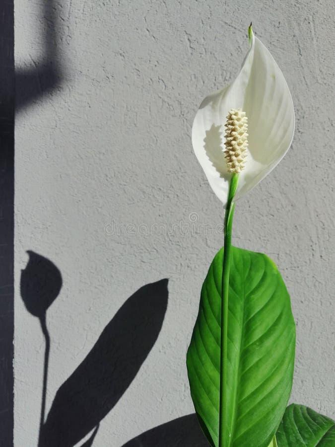 Witte bloemspathiphyllum op het venster stock foto