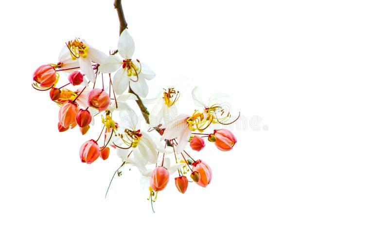 Witte bloesembloemen van Cassia Bakeriana of het Wensen van Boom op zijn die tak op witte achtergrond wordt geïsoleerd stock fotografie