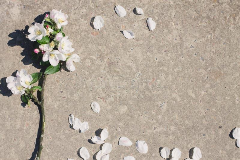 Witte bloesemtak op grijze achtergrond in de lente royalty-vrije stock afbeelding