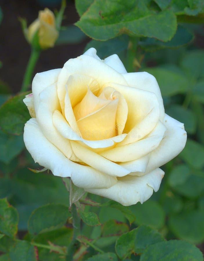 Witte Blossming nam in de tuin toe stock fotografie