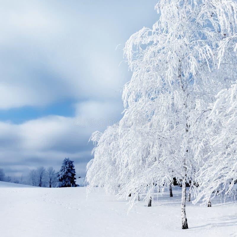 Witte bomen in de sneeuw in het bos Mooie de winterlandschap Vierkant beeld stock afbeelding