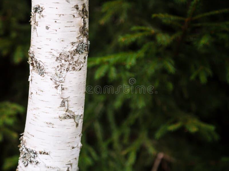 Witte boomstam van berkboom en vage groene sparren royalty-vrije stock fotografie