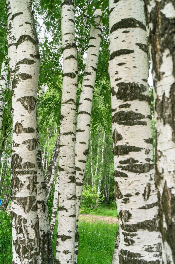 Witte boomstammen van jonge berken in de vroege zomer De wind ritselt jonge berkbladeren Russisch nationaal symbool stock fotografie