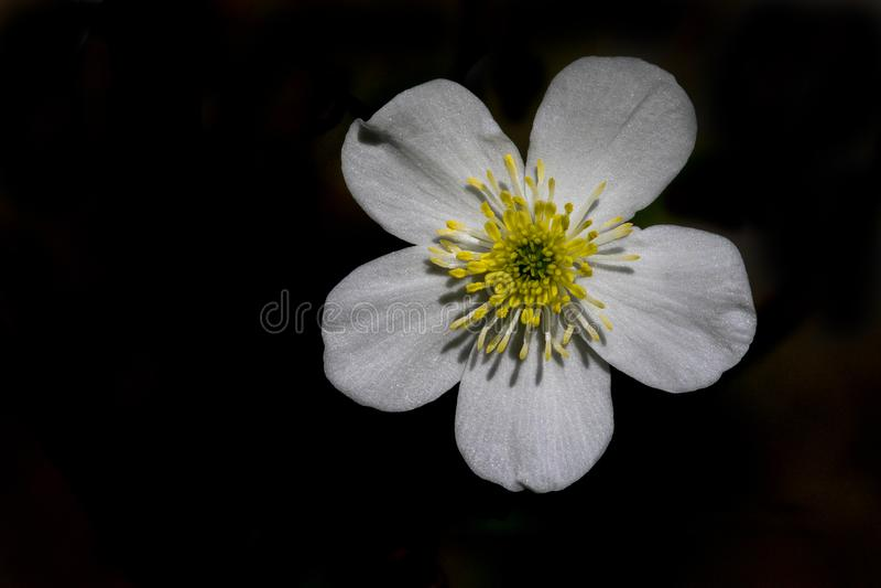 Witte Boterbloem, ranúnculo de la Acónito-hoja, aconitifoli del ranúnculo fotos de archivo libres de regalías