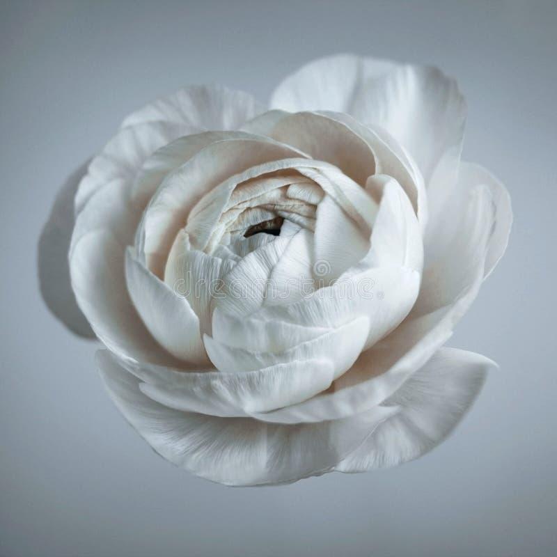 Witte Boterbloem, Ranunculus op grijze dichte omhooggaand als achtergrond, macro Groot wit bloemhoofd Zachte nadruk Geweven bloem royalty-vrije stock afbeelding