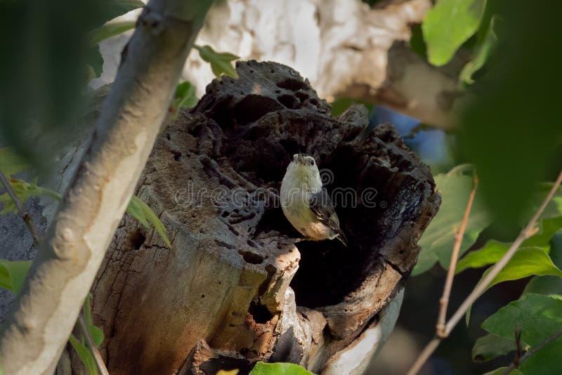 Witte Breasted-Nuthatch die op een boomboomstam wordt neergestreken stock fotografie