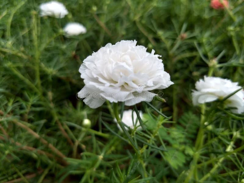 Witte bureaubloemen in de tuin stock fotografie