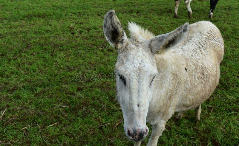 Witte Burro op een Groot Grasgebied op een Landbouwbedrijf royalty-vrije stock foto's