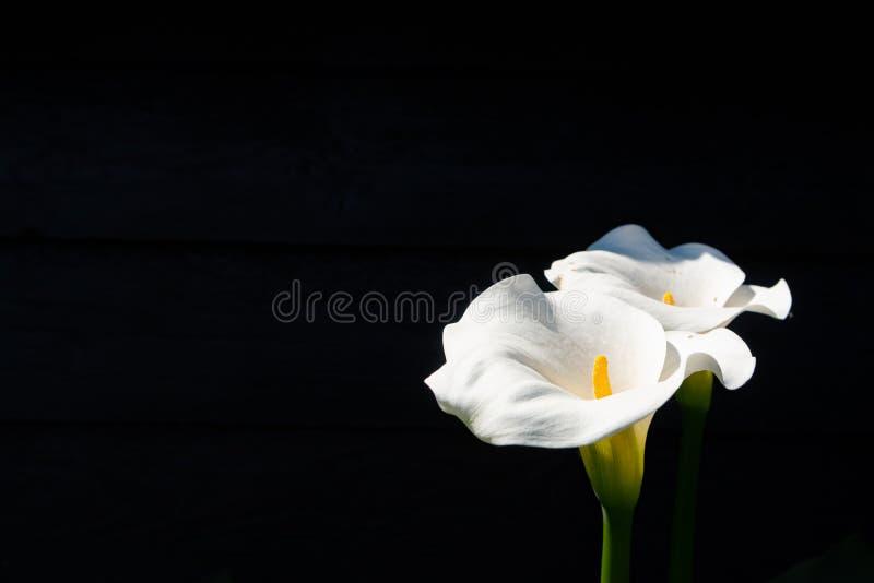 Witte calla lelieinstallatie met bloemen op zwarte achtergrond, donker KE royalty-vrije stock foto's