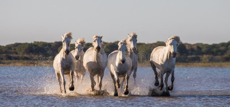 Witte Camargue-Paarden die in het moerassennatuurreservaat in werking worden gesteld Parc Regional DE Camargue frankrijk De Prove stock afbeeldingen