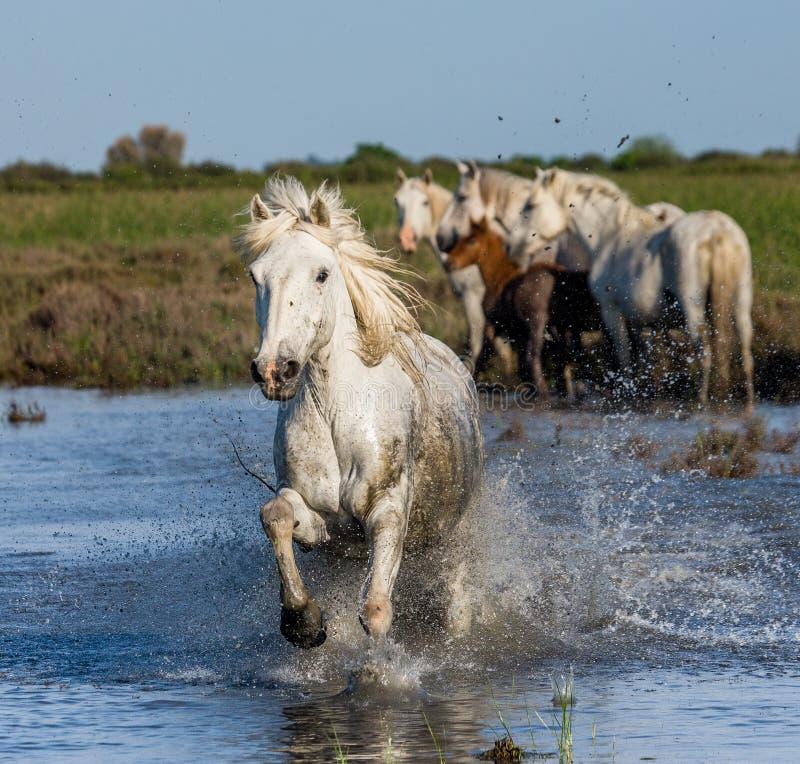 Witte Camargue-Paarden die in het moerassennatuurreservaat in werking worden gesteld Parc Regional DE Camargue frankrijk De Prove stock foto's