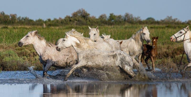 Witte Camargue-Paarden die in het moerassennatuurreservaat in werking worden gesteld Parc Regional DE Camargue frankrijk De Prove stock fotografie