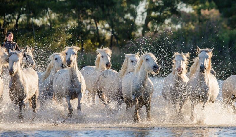 Witte Camargue-Paarden die in het moerassennatuurreservaat in werking worden gesteld Parc Regional DE Camargue frankrijk De Prove royalty-vrije stock afbeelding