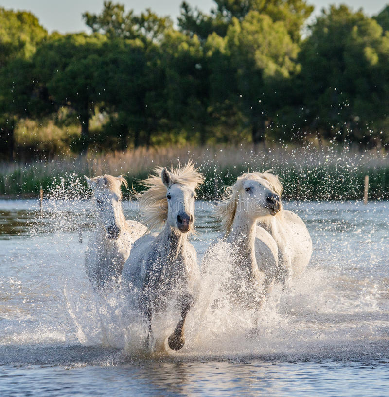 Witte Camargue-Paarden die in het moerassennatuurreservaat in werking worden gesteld Parc Regional DE Camargue frankrijk De Prove stock afbeelding