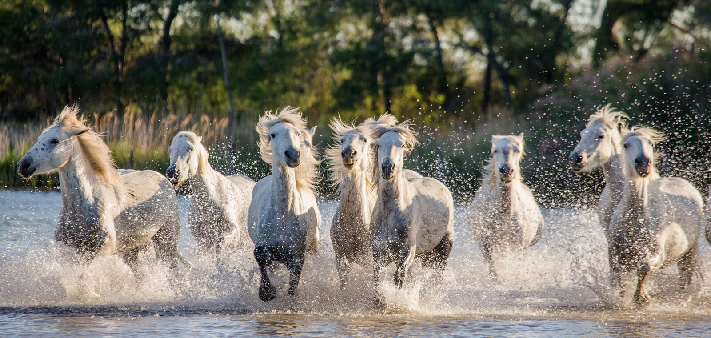 Witte Camargue-Paarden die in het moerassennatuurreservaat in werking worden gesteld Parc Regional DE Camargue frankrijk De Prove royalty-vrije stock foto's