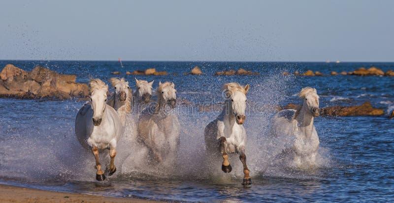 Witte Camargue-Paarden die langs het overzeese strand galopperen Parc Regional DE Camargue frankrijk De Provence royalty-vrije stock fotografie