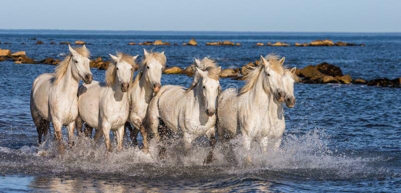 Witte Camargue-Paarden die langs het overzeese strand galopperen Parc Regional DE Camargue frankrijk De Provence stock fotografie