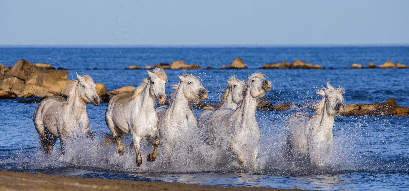 Witte Camargue-Paarden die langs het overzeese strand galopperen Parc Regional DE Camargue frankrijk De Provence stock afbeelding
