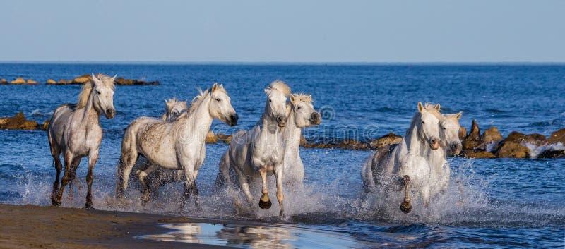 Witte Camargue-Paarden die langs het overzeese strand galopperen Parc Regional DE Camargue frankrijk De Provence royalty-vrije stock afbeeldingen