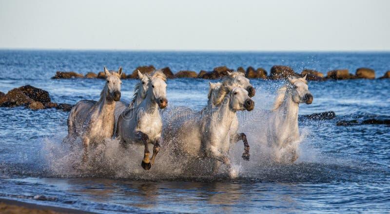 Witte Camargue-Paarden die langs het overzeese strand galopperen Parc Regional DE Camargue frankrijk De Provence stock foto