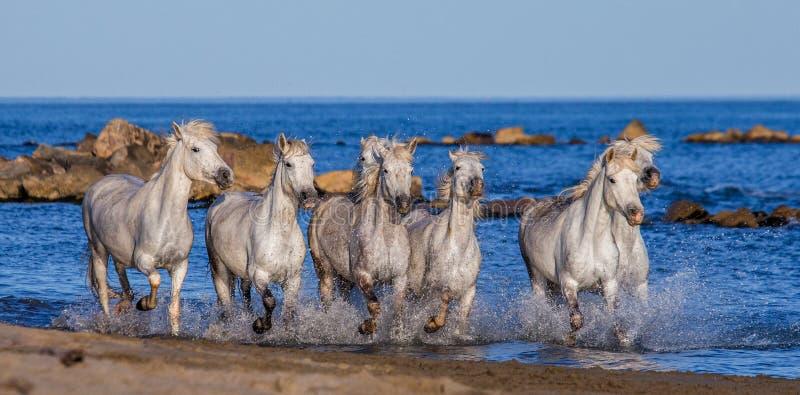 Witte Camargue-Paarden die langs het overzeese strand galopperen Parc Regional DE Camargue frankrijk De Provence royalty-vrije stock foto's