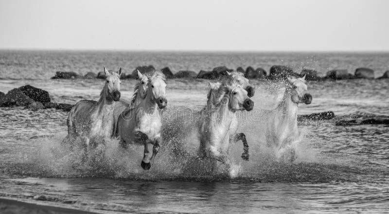 Witte Camargue-Paarden die langs het overzeese strand galopperen Parc Regional DE Camargue frankrijk De Provence royalty-vrije stock foto