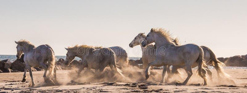 Witte Camargue-Paarden die op het zand galopperen Parc Regional DE Camargue frankrijk De Provence stock foto's