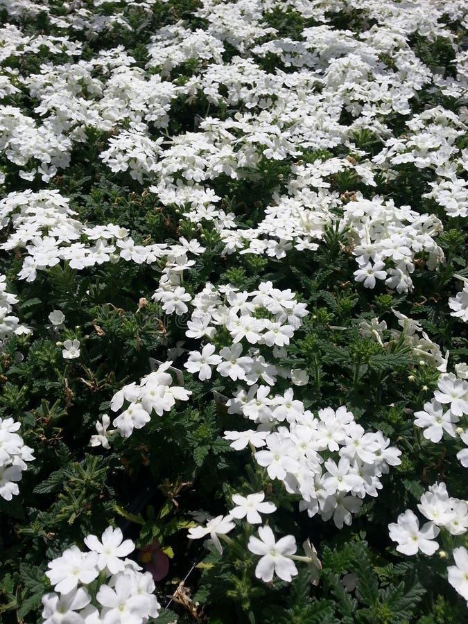 Download Witte Candytuft stock foto. Afbeelding bestaande uit gardening - 54087054