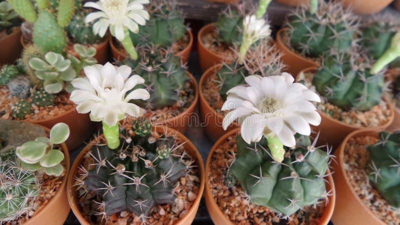 Witte Catus-bloem royalty-vrije stock afbeelding