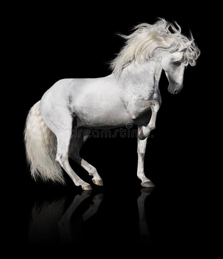 Witte $ce-andalusisch paardhengst die op zwarte wordt geïsoleerdo stock foto's