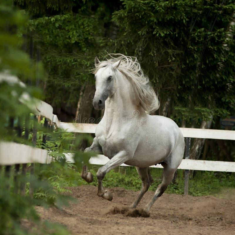Witte $ce-andalusisch paardspelen in paddock stock foto's