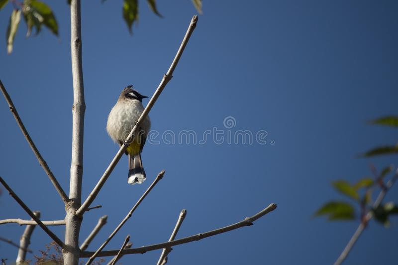 Witte Cheeked Bulbul stock foto