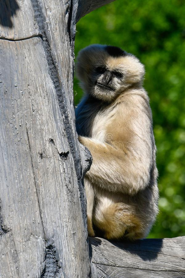 Witte Cheeked Gibbon 2 royalty-vrije stock foto's