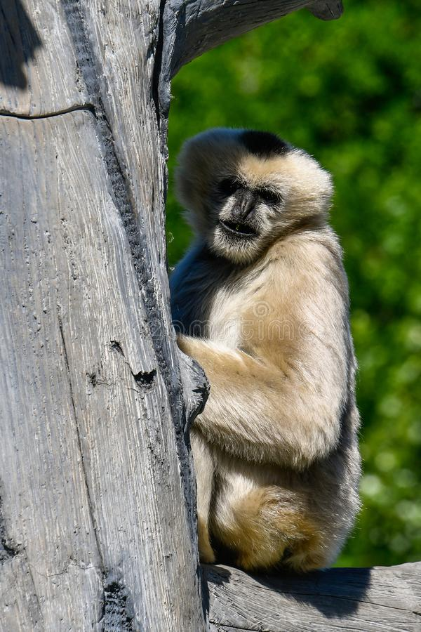 Witte Cheeked Gibbon 3 royalty-vrije stock foto's