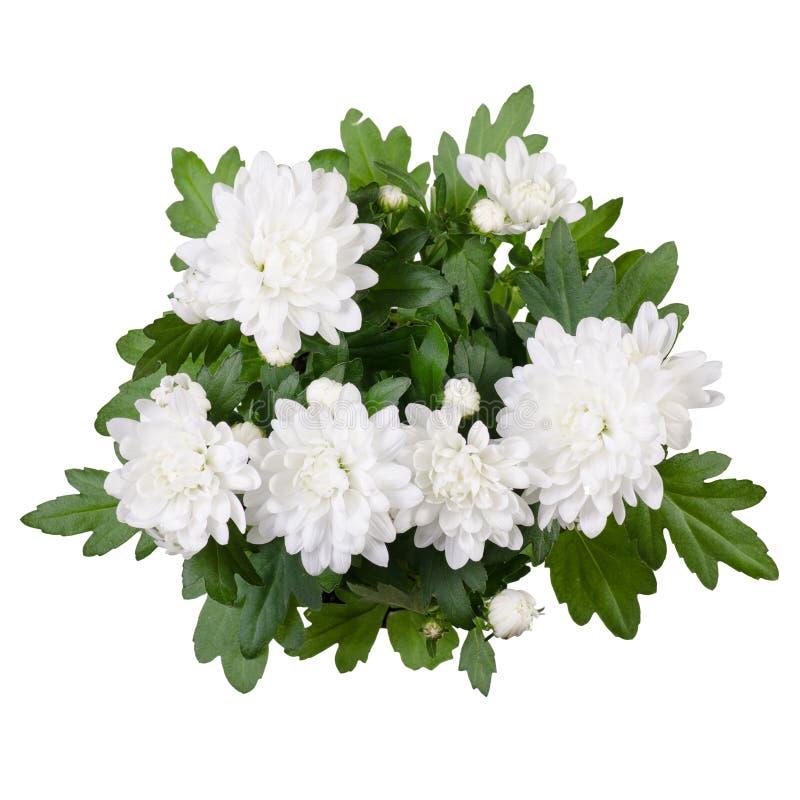 Witte chrysant in een geïsoleerde pot royalty-vrije stock fotografie