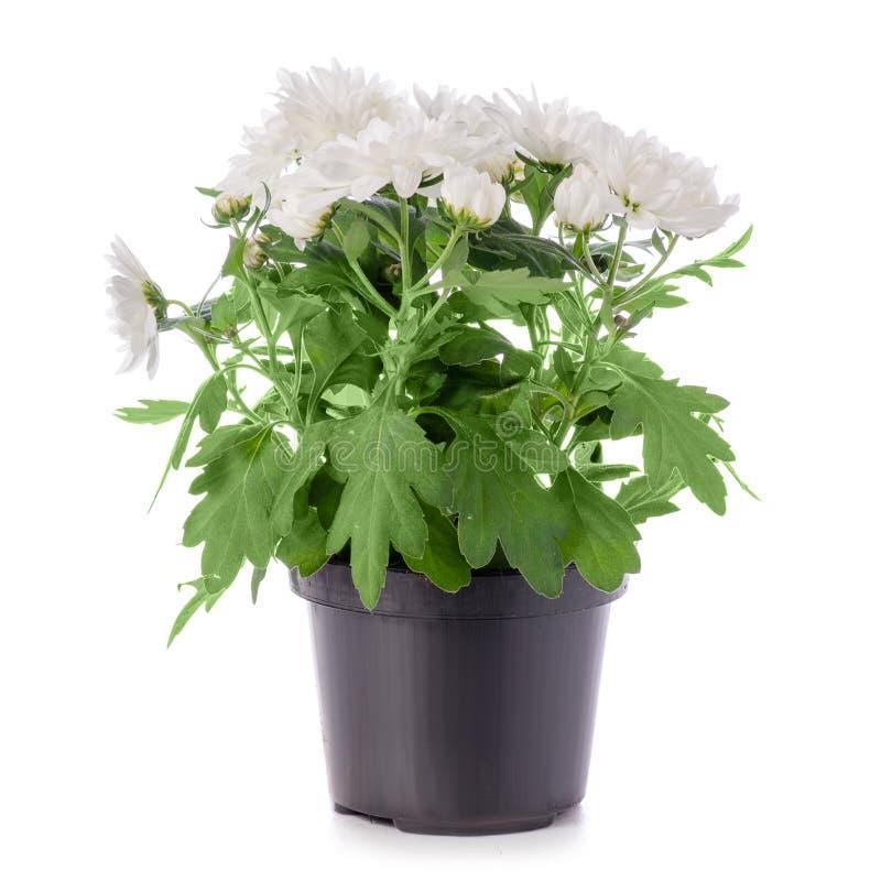 Witte chrysant in een pot royalty-vrije stock afbeelding