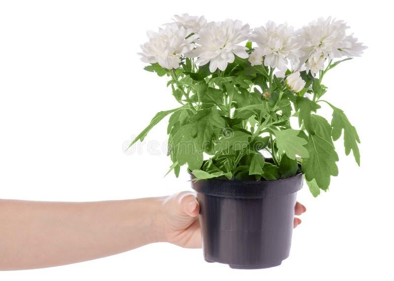Witte chrysant in een pot ter beschikking stock afbeeldingen