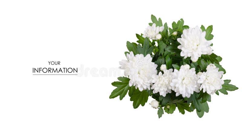 Witte chrysant in een pottenpatroon stock foto's