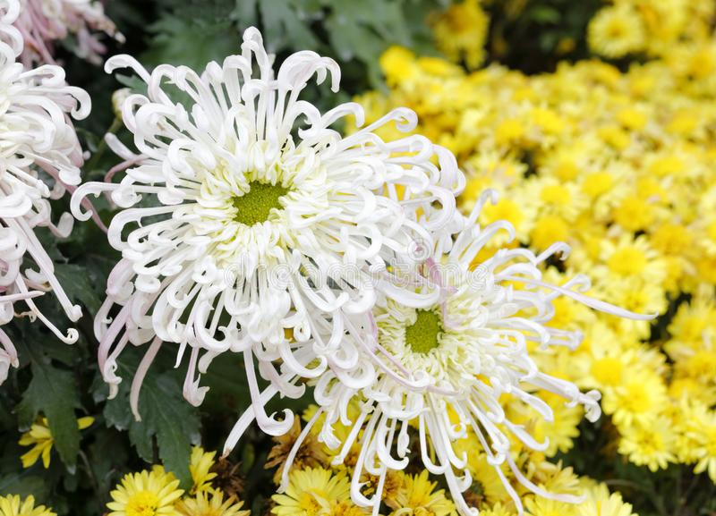 Witte chrysant, rgb adobe royalty-vrije stock afbeelding