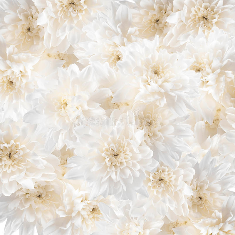 Witte chrysanten stock afbeelding