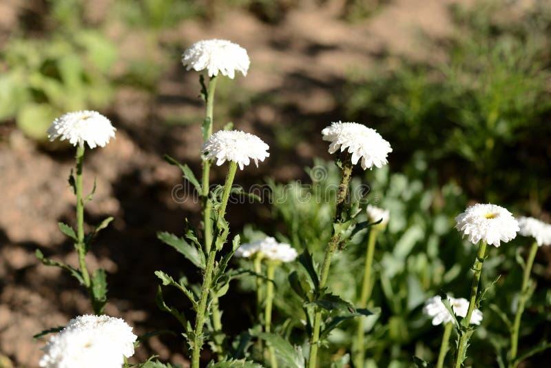 Witte chrysanten in de de zomertuin op een heldere zonnige dag royalty-vrije stock foto