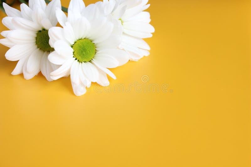 Witte chrysanten op gele achtergrond De schilderachtige chrysant van de bloemnevel Geopende chrysantenknop stock foto