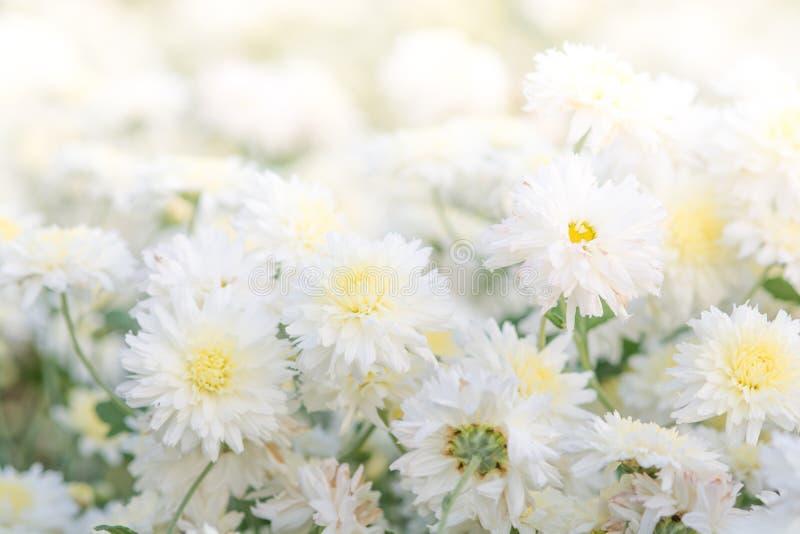 Witte chrysantenbloemen stock afbeeldingen