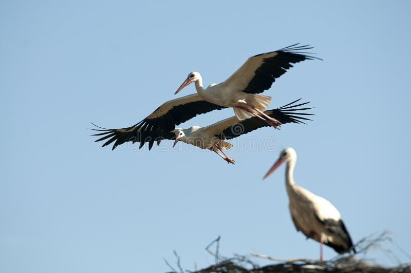 Witte ciconia van ooievaars tijdens de vlucht Ciconia royalty-vrije stock afbeeldingen