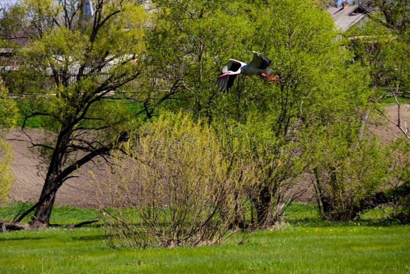 Witte ciconia van Ooievaarsciconia tijdens de vlucht royalty-vrije stock afbeelding