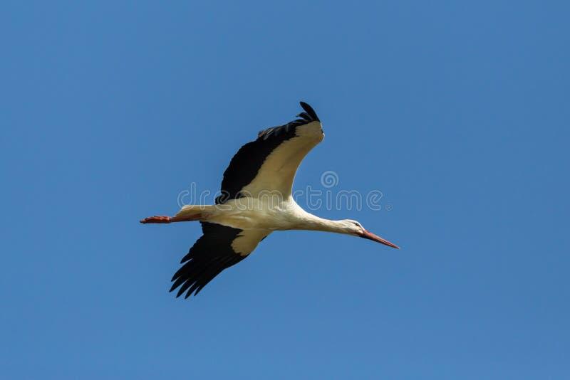 Witte ciconia van ooievaarsciconia tijdens de vlucht, uitgespreid vleugels, blauwe hemel royalty-vrije stock afbeelding