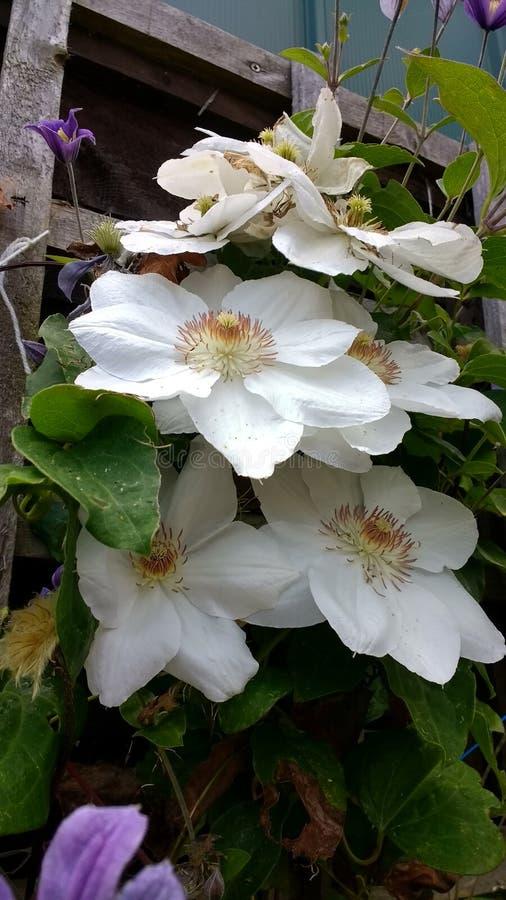 Witte clematissenbloemen stock fotografie
