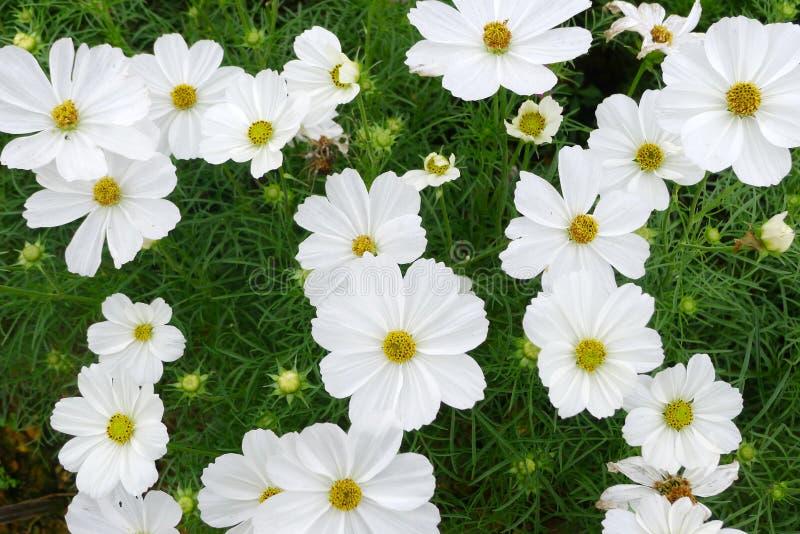 Witte coreopsisbloemen royalty-vrije stock afbeeldingen