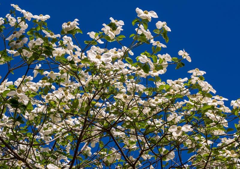 Witte Cornus Florida van de Kornoeljeboom in volledige bloei in de lente stock foto