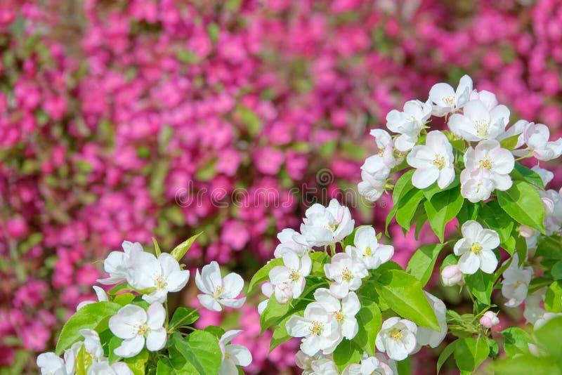 Witte crabapplebloemen royalty-vrije stock foto's